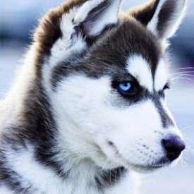 Những Giống Chó Cảnh Đẹp Nhất Thế Giới.